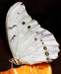 White Butterfly 01