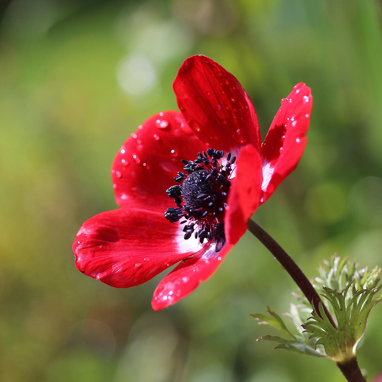 Red anemone 01