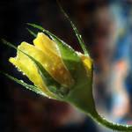 Yellow Rose 04