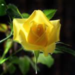 Yellow Rose 07