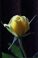 Yellow Rose 08