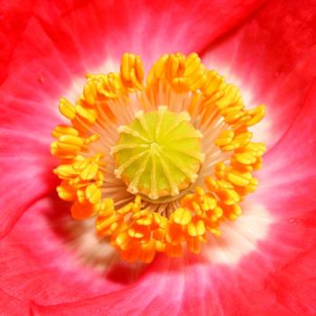 Poppy 02 by s-kmp