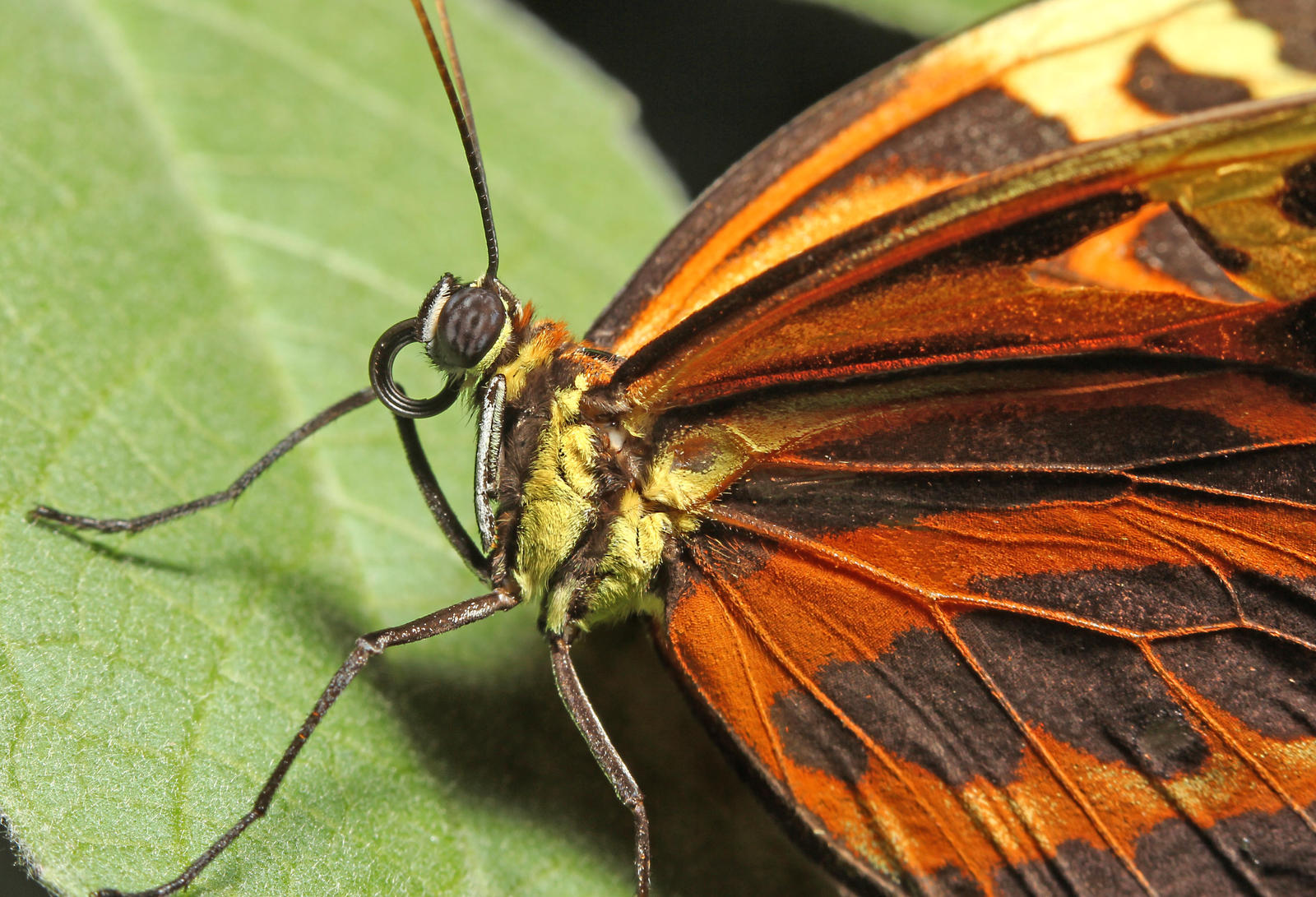 Butterfly Closeup - Fucking Masturbating