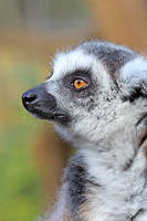 Portrait of a Lemur 01 by s-kmp