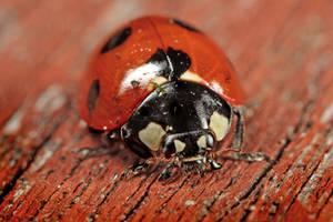 Ladybird 03 by s-kmp