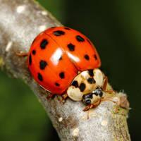 Ladybird 05 by s-kmp
