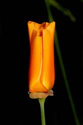 Poppy 2 by s-kmp
