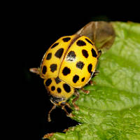 Yellow Ladybird by s-kmp