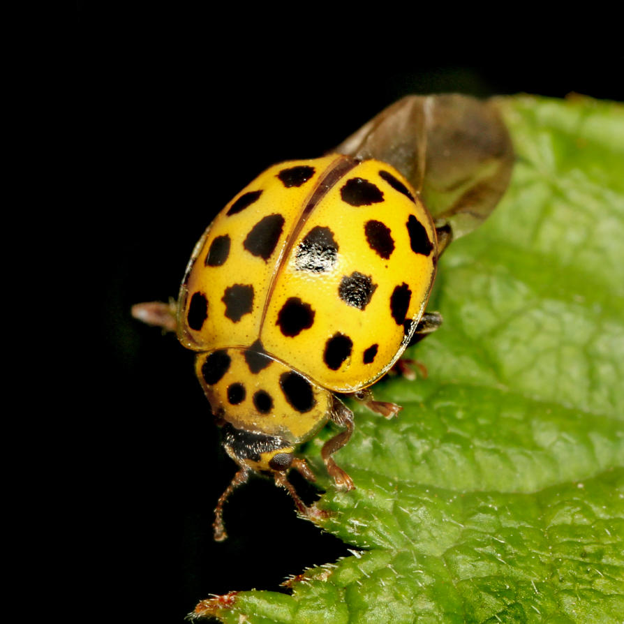 Yellow Ladybird by s-kmp