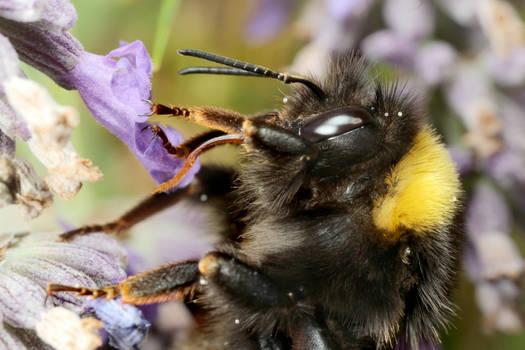 Bumble Bee Tongue 01
