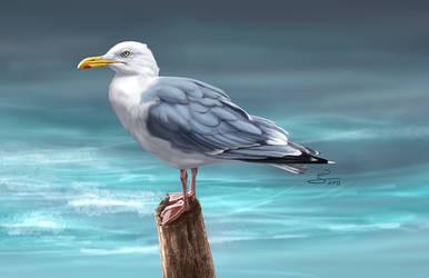 European Herring Gull by albertoguerra