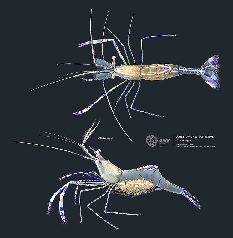 Pederson cleaner shrimp by albertoguerra on DeviantArt