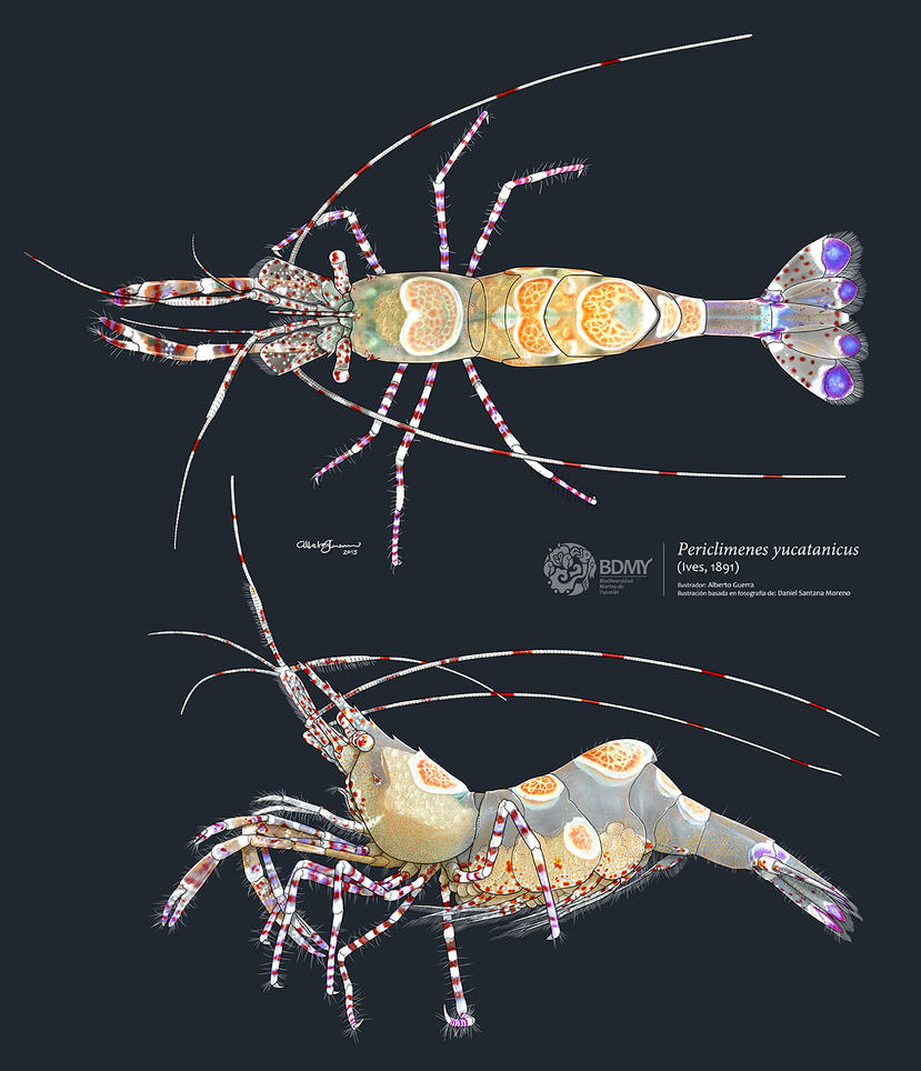 Spotted cleaner shrimp by albertoguerra