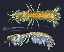 Rock Mantis Shrimp by albertoguerra