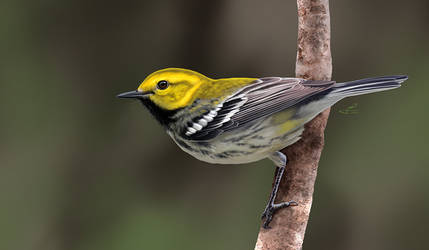 Black-throated Green Warbler by albertoguerra