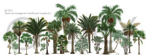 Yucatan Palmae