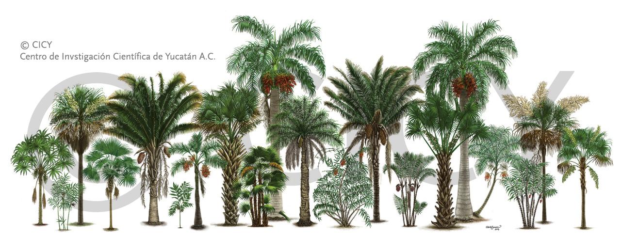 Yucatan Palmae by albertoguerra