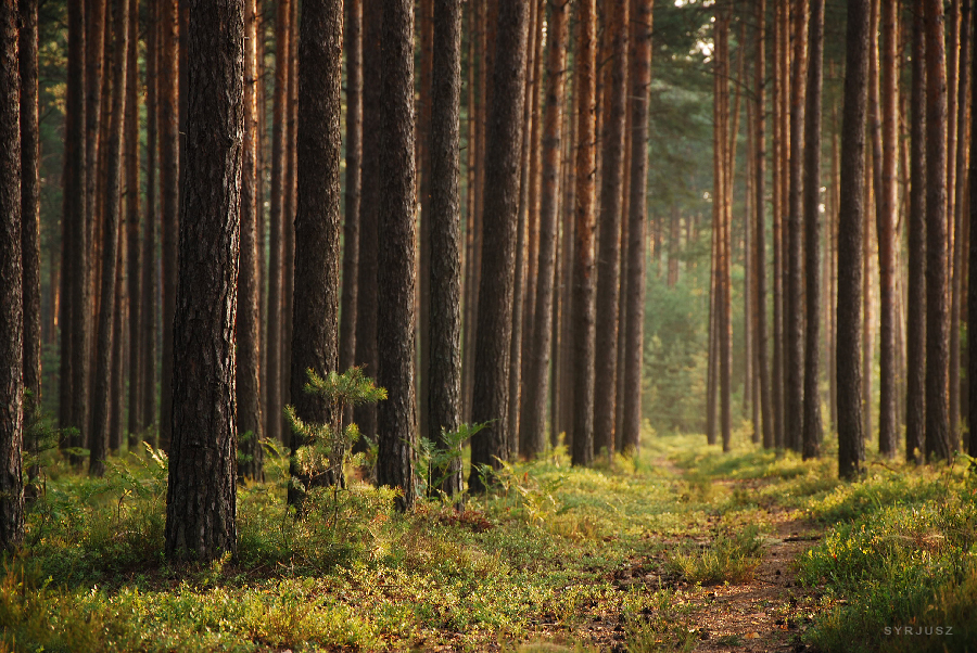Forest V by Syrjusz