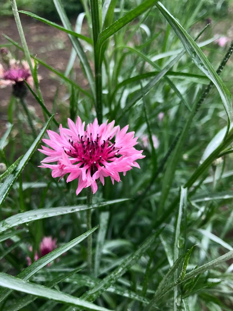 Pink flower by NecoNA22