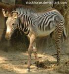Zebra colt 5