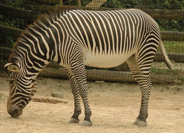 Zebra 4 by stockhorse