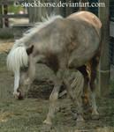 Miniature Horse 2