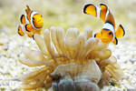 + Clownfish + by JoJoAsakura