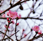 13:52 - Cherry Blossom