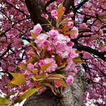 17:52 - Cherry Blossoms ... again