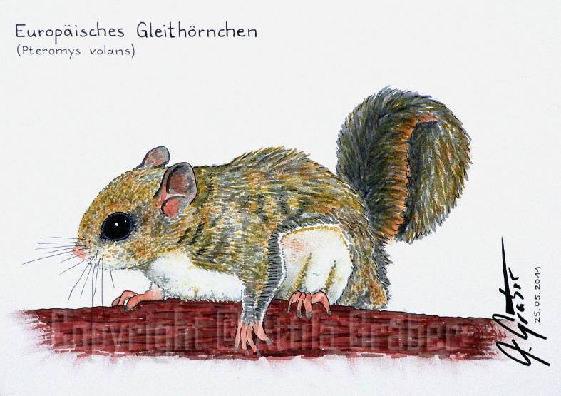 Europ. Gleithoernchen by Attila-G