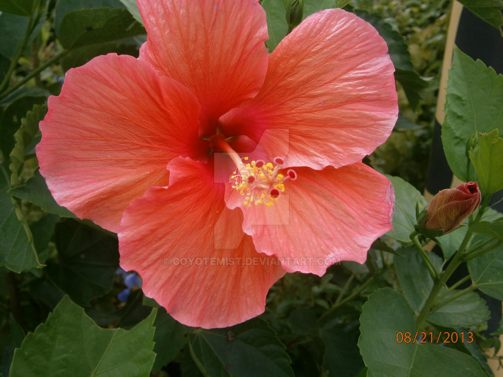 Hibiscus flower 2 pink by coyotemist on deviantart hibiscus flower 2 pink by coyotemist izmirmasajfo Gallery