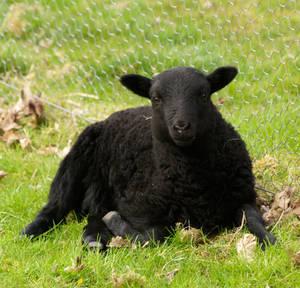 Wee Black lamb by piglet365