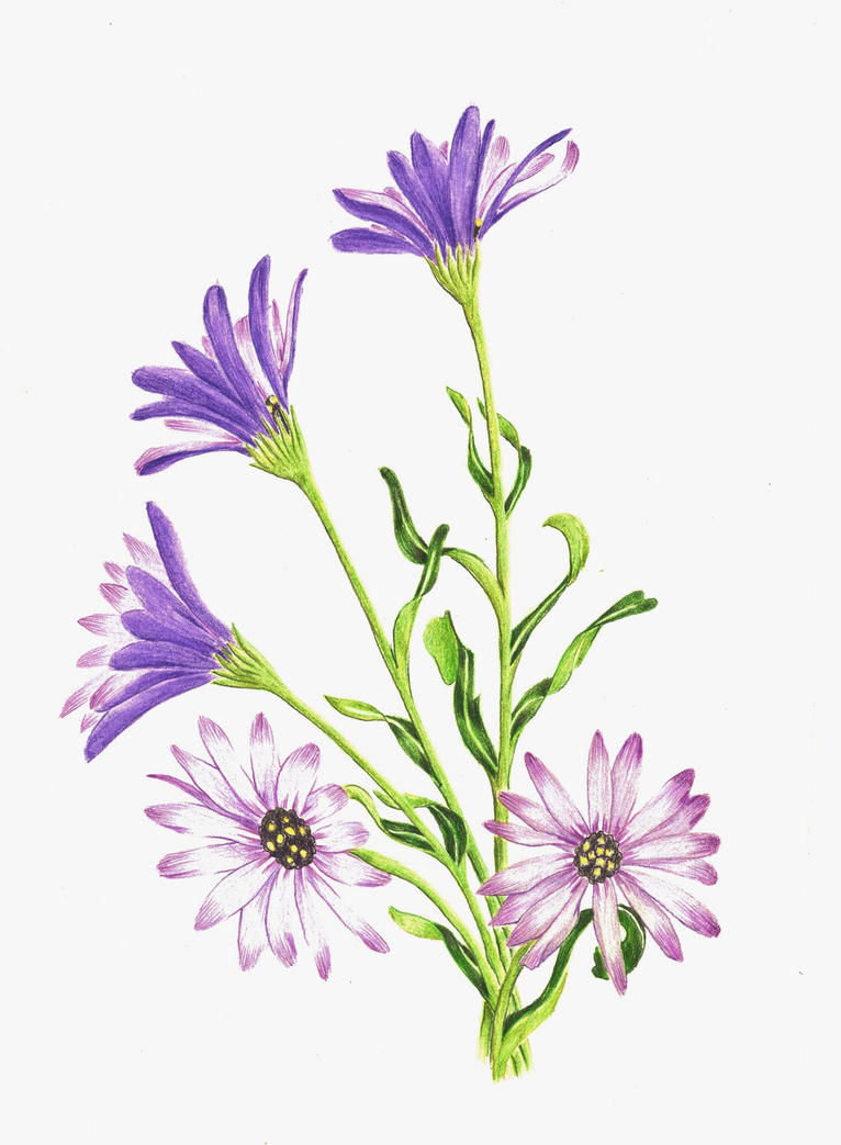 Osteospermum Color Pencil by Allison-beriyani