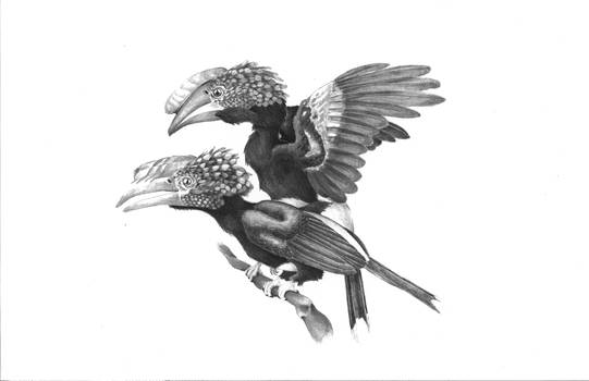 Slivery-Cheeked Hornbills (Bycanistes brevis)