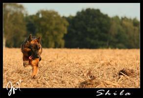 German Shepherd by kyolein