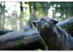 pondering wolf
