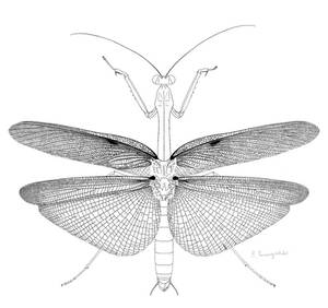 Flying mantis wings