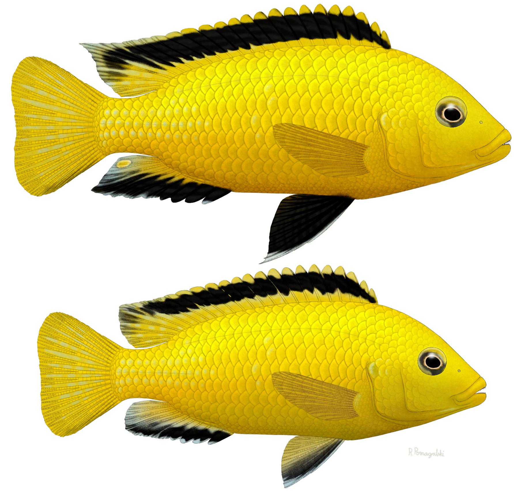 Labidochromis caeruleus by Preradkor on DeviantArt  Labidochromis c...