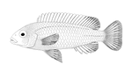 Melanochromis auratus uncolored by Preradkor