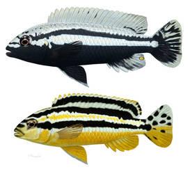 Melanochromis auratus by Preradkor