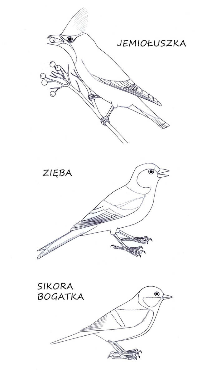 Children coloring pages - songbirds of Poland