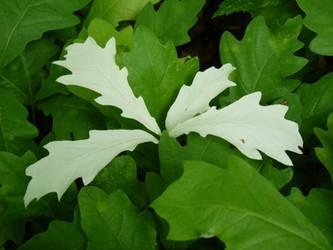 Albino oak