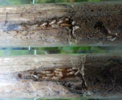 Reticulitermes banyulensis