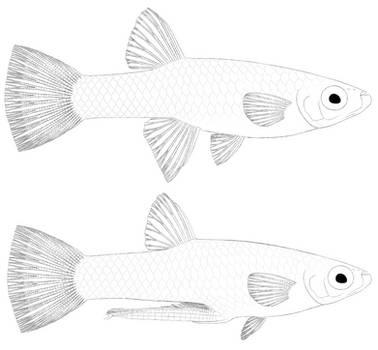 Girardinus metallicus uncolored