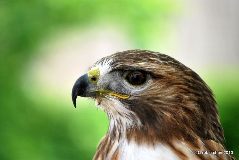 Red Tailed Hawk Portrait by meihua