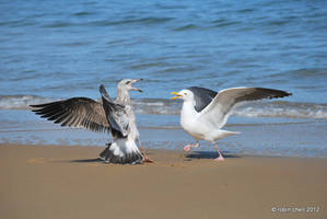 Gull Fight by meihua