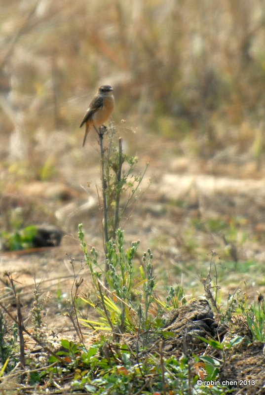 Stonechat??? by meihua