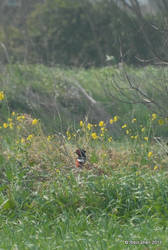 Pheasant among the Flowers