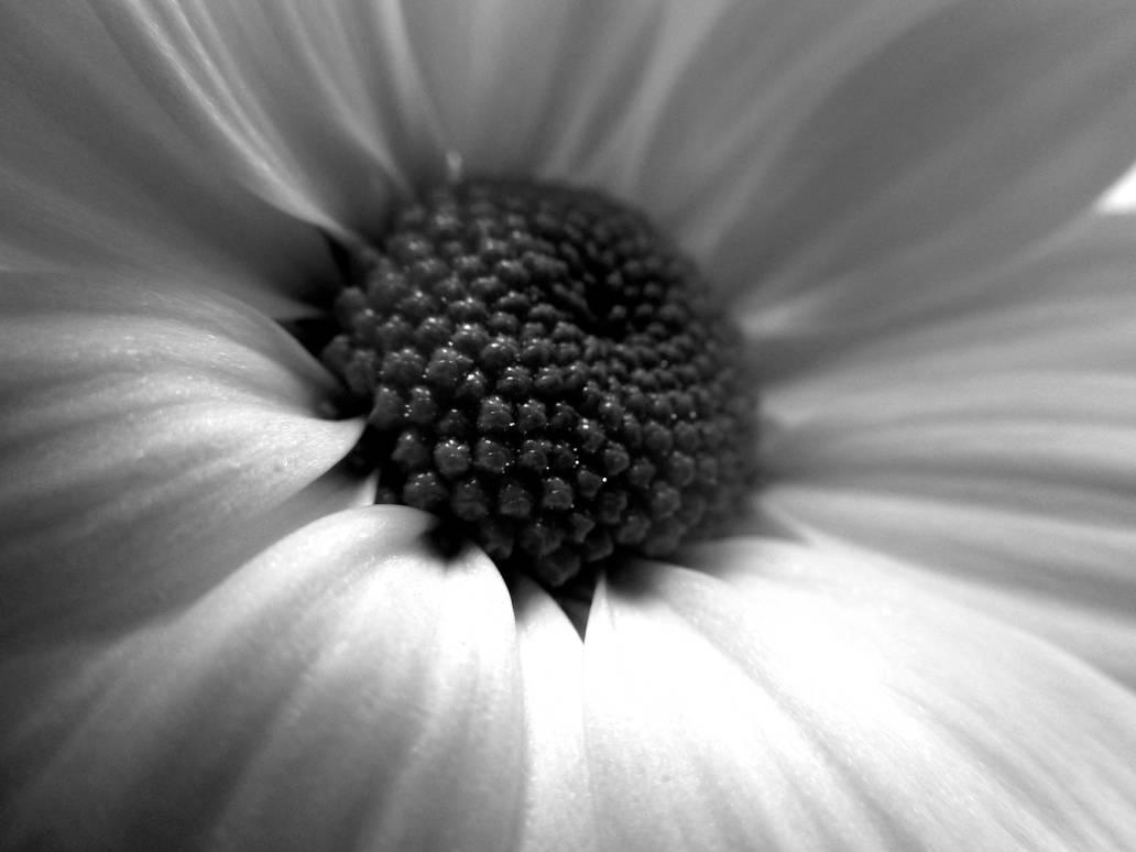 macro BW heart of flower by lali-lilou
