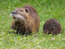 Nutria And Baby